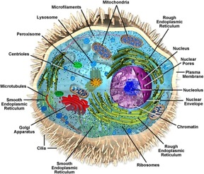 Human-cell-and-its-function